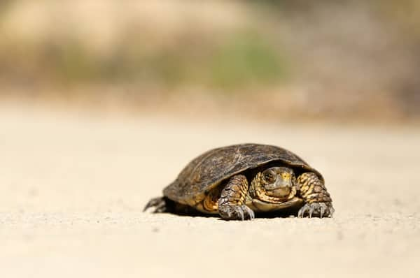 turtle crawling across the sand.